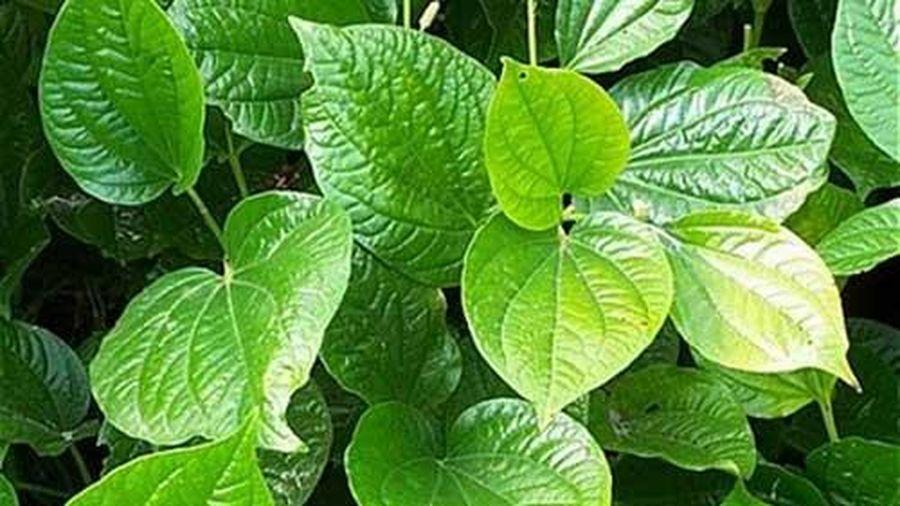 Bài thuốc chữa đau lưng thần kì từ những loại cây dễ tìm