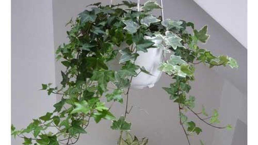 Kỹ thuật trồng cây thường xuân đẹp nhà, giải độc không khí