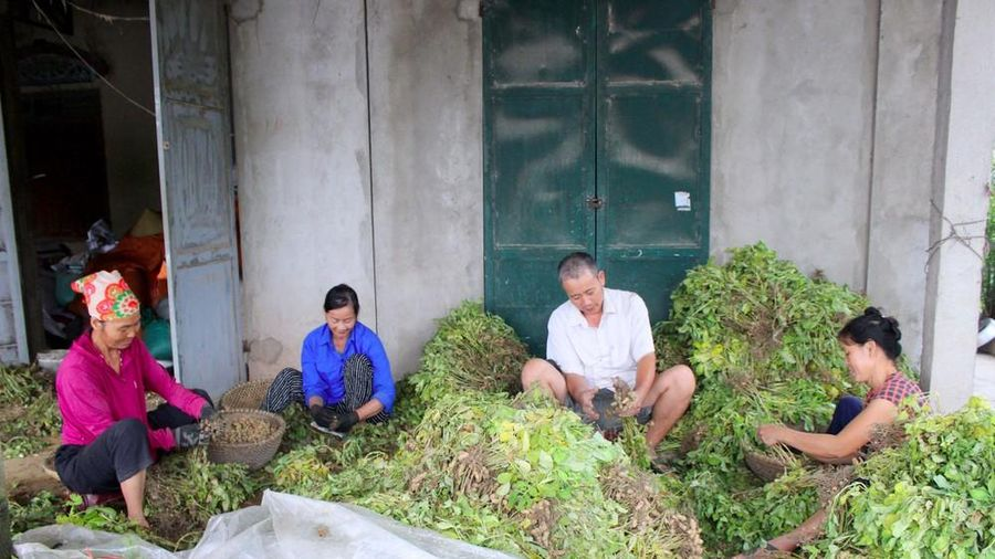 Niềm vui được mùa, được giá ở 'thủ phủ' lạc đông của Nghệ An