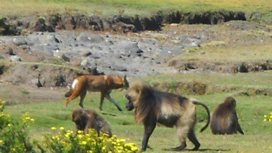 Phát hiện khỉ đang thuần hóa chó sói