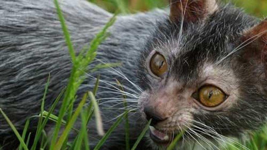 Loài mèo biến dị giống ma sói