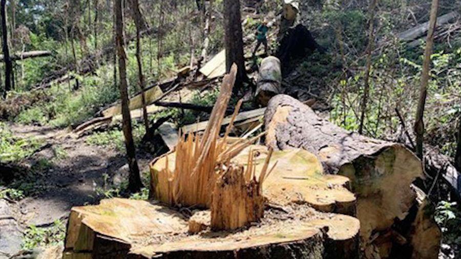 Tan tác rừng bạch tùng hơn 100 tuổi ở Lâm Đồng