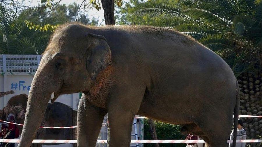 'Chú voi cô đơn nhất hành tinh' chuyển đến nhà mới ở Campuchia