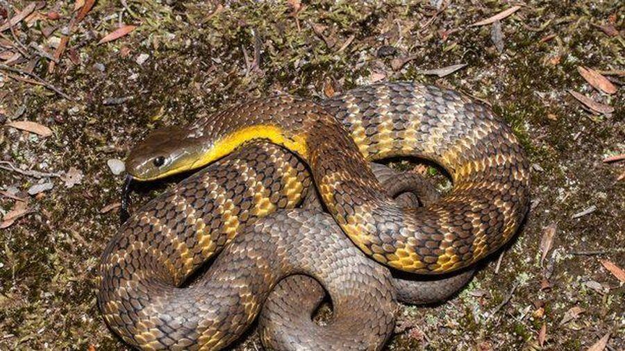 Người đàn ông bị rắn hổ dài 1,4 m cắn chết