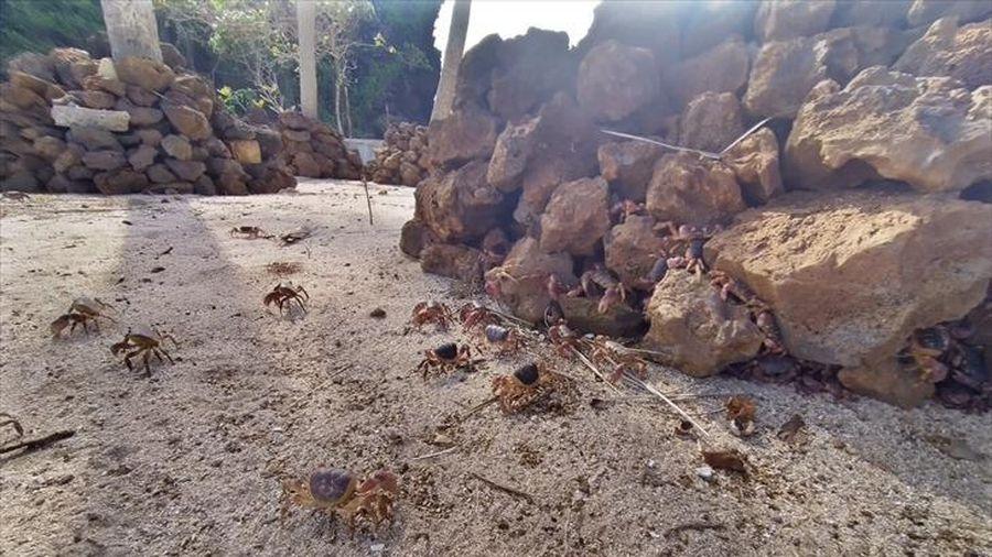 Bảo tồn cua đá Lý Sơn
