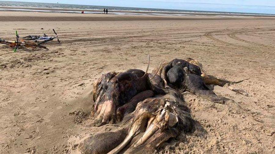 Xác sinh vật bí ẩn dài 4,5 mét nằm trên bờ biển Anh