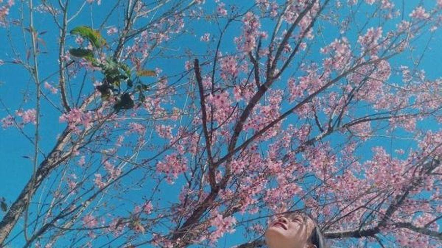 Check-in con đường hoa mai anh đào đẹp nhất Đà Lạt 'ảo ảnh' như xứ Phù Tang