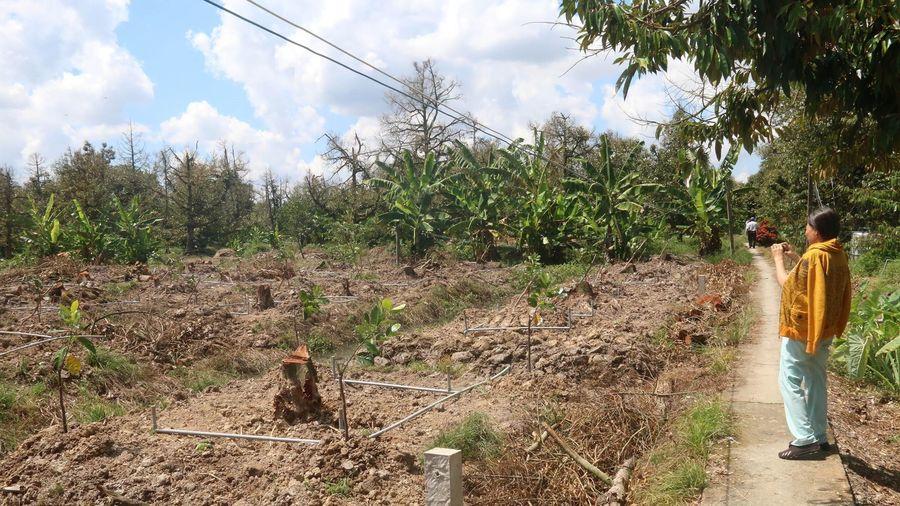 Sầu riêng Cai Lậy mất mùa, giá tăng cao nhưng thiếu hụt nguồn cung