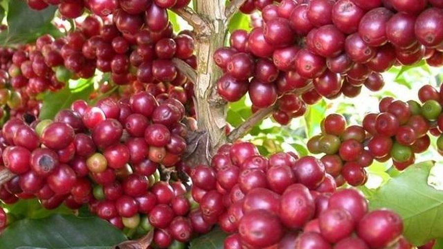 Giá cà phê hôm nay 1/12: Biến động nhẹ phiên đầu tháng, dự báo giá cà phê toàn cầu tiếp tục tăng