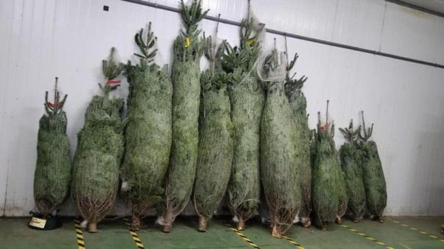 Chưa đến Giáng sinh, thông tươi nhập khẩu tiền triệu đã 'cháy hàng'