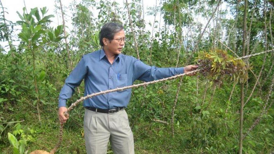 Phát triển cây sắn bền vững ở miền Trung
