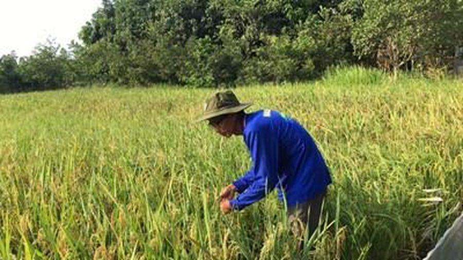 Lão 'gàn' nặng lòng với các giống lúa mới