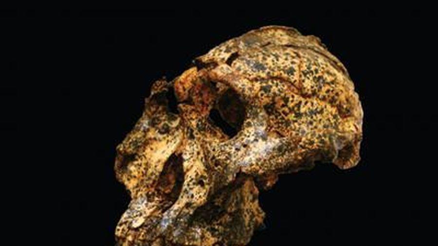 Phát hiện hóa thạch hơn 2 triệu năm tuổi của 'họ hàng' tổ tiên loài người