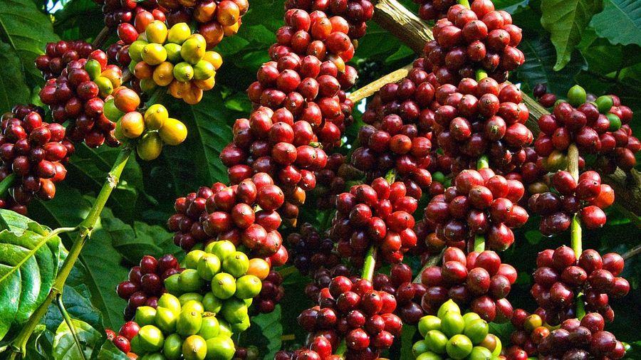 Giá cà phê hôm nay 3/12/2020: Bà Rịa - Vũng Tàu có mức thu mua cao nhất