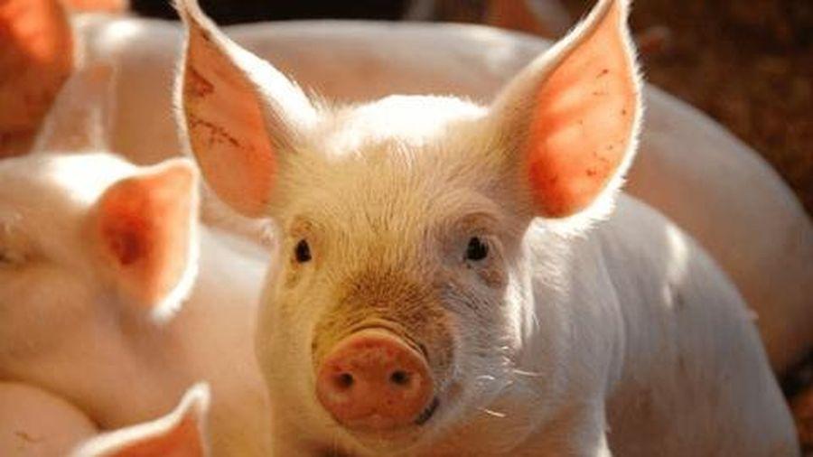 Giá lợn hơi ngày 3/12: Miền Bắc giảm nhẹ, miền Trung, Nam đi ngang