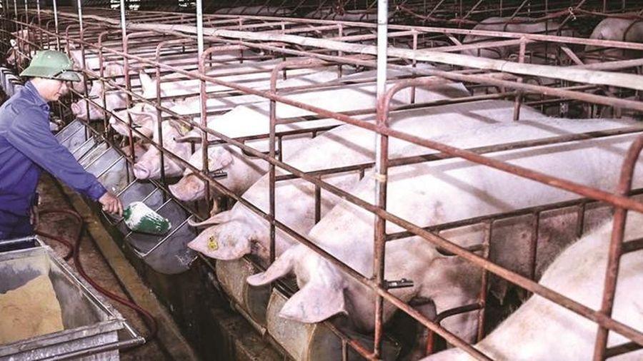 Giá lợn hơi hôm nay 3/12: Điều chỉnh giảm nhẹ ở khu vực miền Bắc