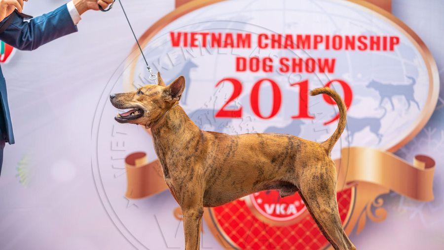 Độc, lạ, kỳ thú cuộc thi vô địch... chó bản địa Việt Nam