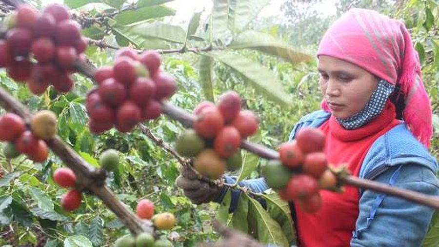 Giá cà phê hôm nay 4/12: Đồng loạt tăng nhẹ, người nông dân thấp thỏm thu hái vụ mới
