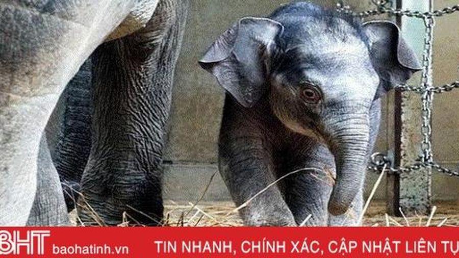 Vườn thú lâu đời nhất Nhật Bản đón voi con đầu tiên sinh ra tại đây