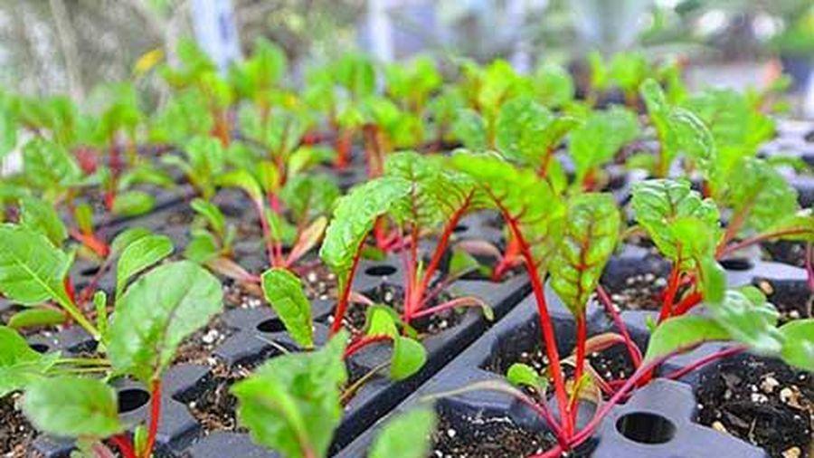 Học cách trồng cải cầu vồng siêu rẻ lại đẹp nhà, ngon cơm