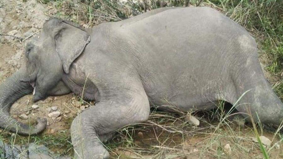 Chú voi cuối cùng ở khu vực Bắc Tây Nguyên đã chết