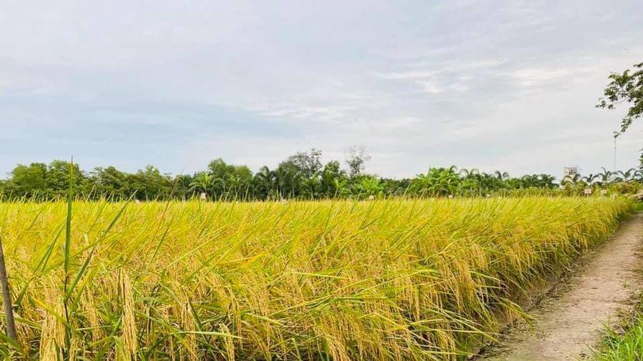 Giá lúa gạo hôm nay ngày 4/12: Giá lúa giảm 100 đồng/kg
