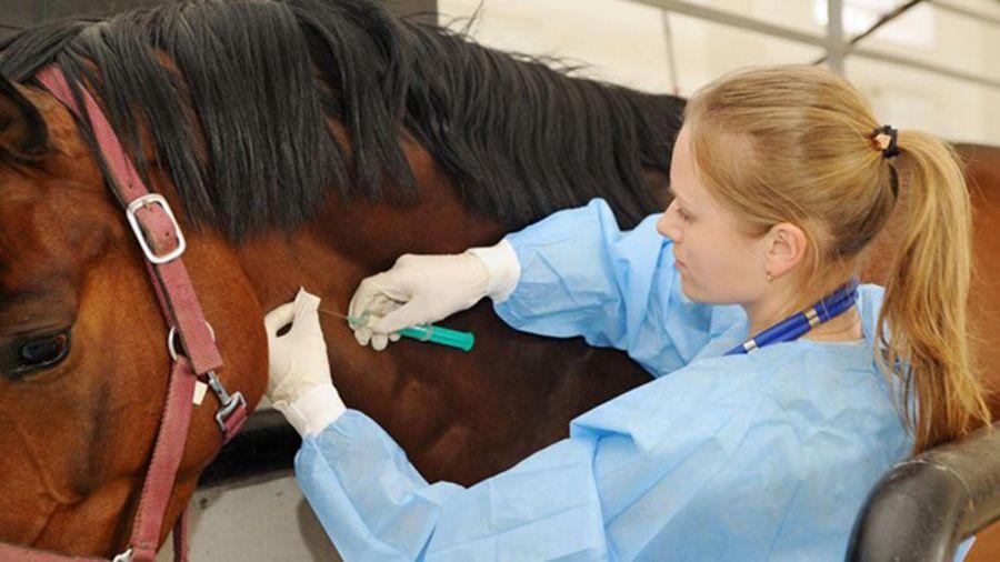 Kỳ 2: Những con ngựa cứu người
