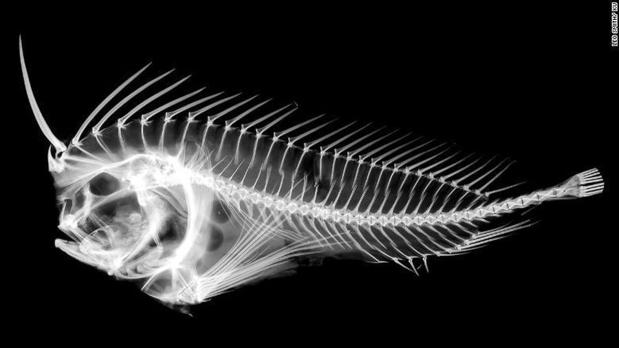 Loài cá kỳ dị giấu 'gươm' trong đầu