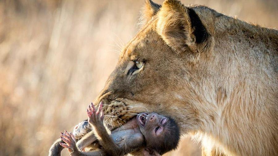 Khỉ đầu chó thoi thóp trước khi bị sư tử vờn chết