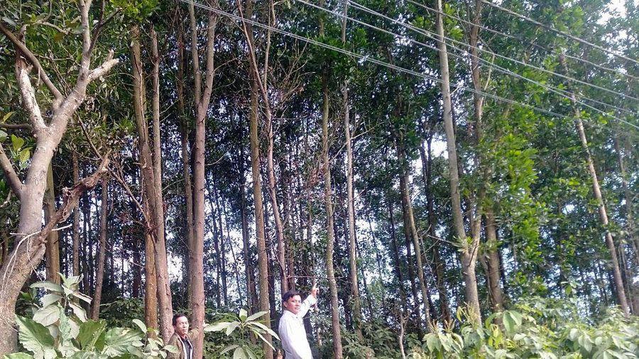 Hiệu quả bước đầu mô hình trồng rừng gỗ lớn