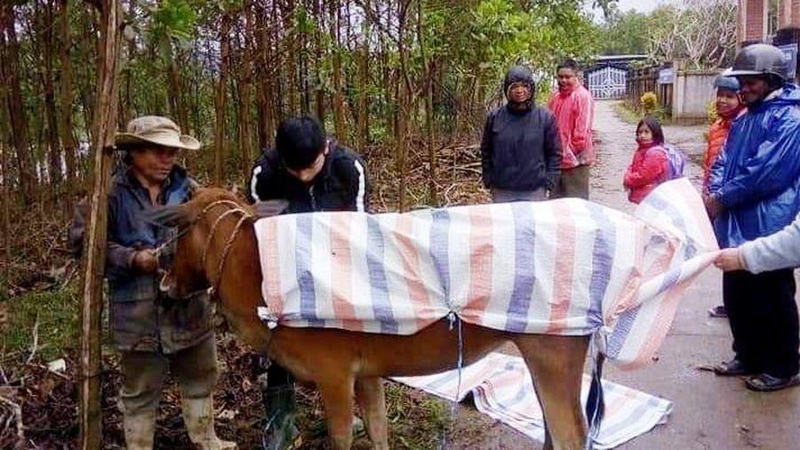 Lập đoàn kiểm tra sự việc hơn 900 gia súc chết vì mưa rét tại A Lưới