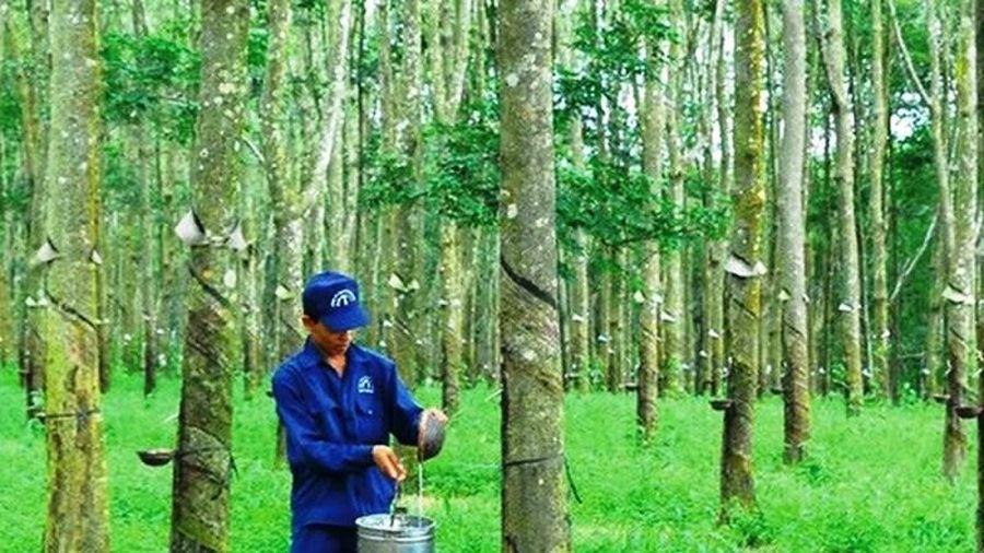 12 triệu cổ phiếu Cao-su Đồng Phú - Đắk Nông lên UPCoM ngày 20-1