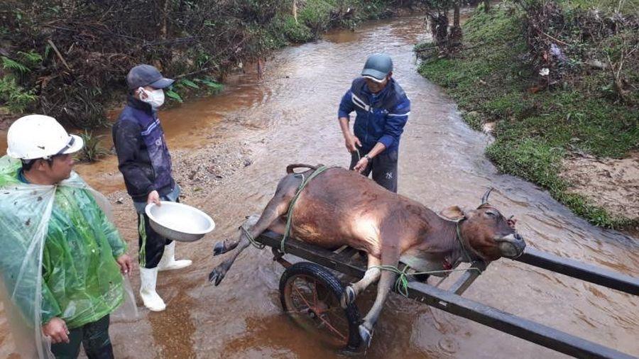 Hàng trăm gia súc chết cóng, 'huyện báo cáo 2, tỉnh bảo 1'