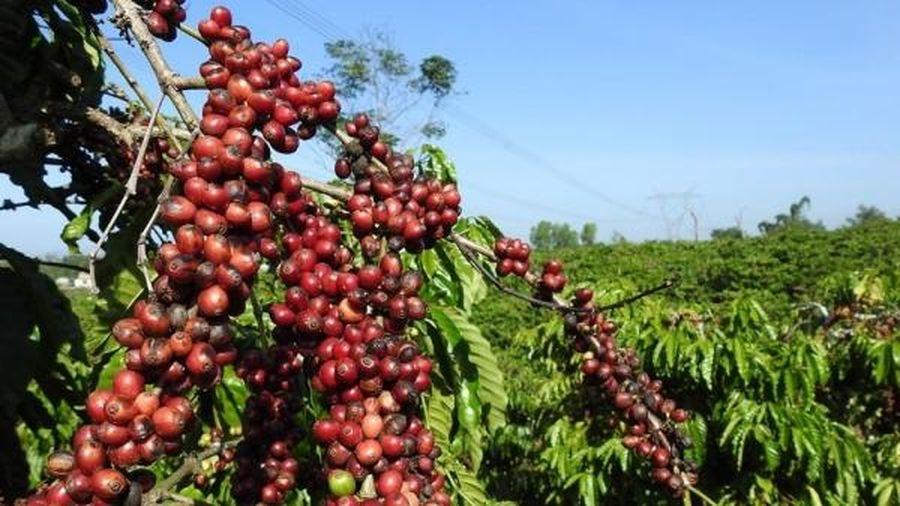Giá cà phê hôm nay 14/1: Bật tăng mạnh, chuỗi ngày giảm chấm dứt? Lý do khiến giá hồ tiêu khó tăng cao