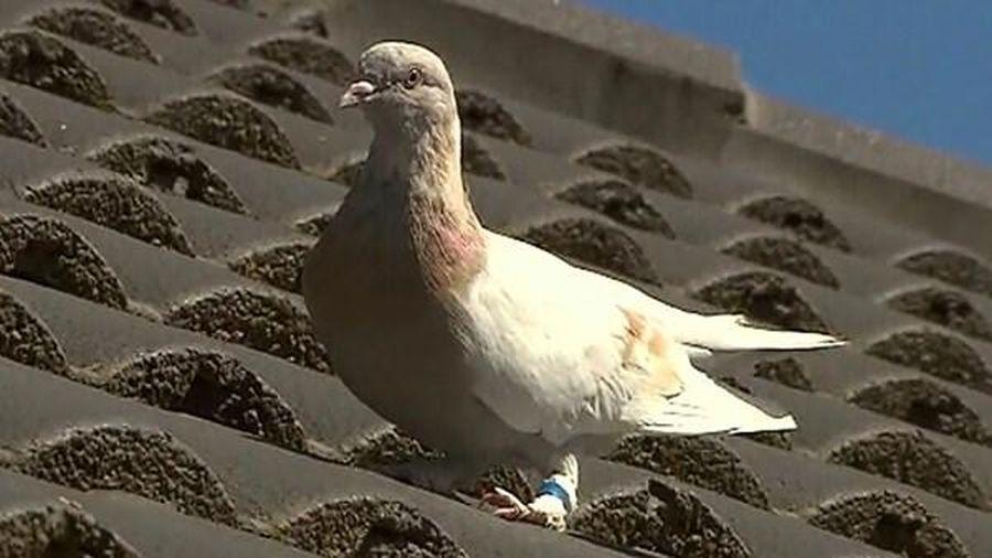 Australia 'đau đầu' với chú chim bồ câu 'bay lạc' từ Mỹ
