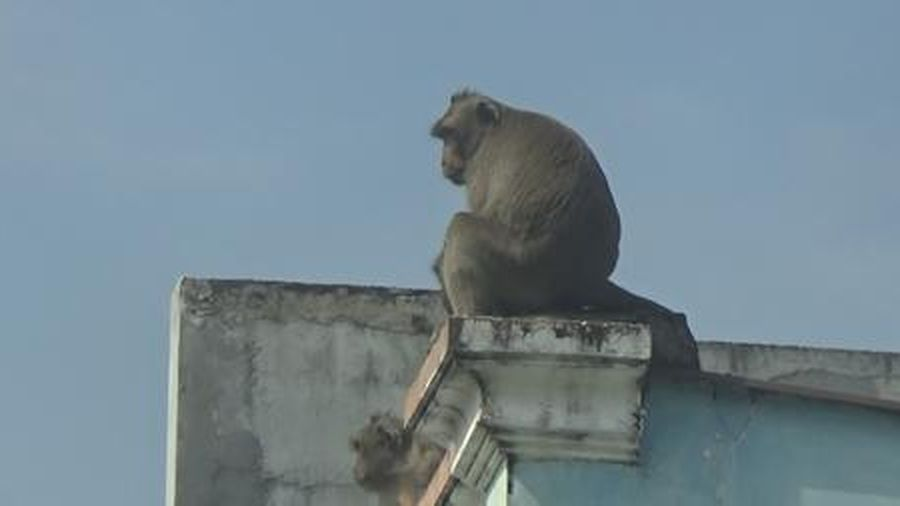 Bắt con khỉ đầu tiên trong đàn khỉ 'tung hoành' giữa Sài Gòn