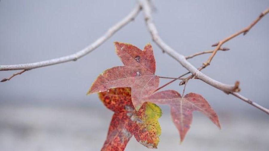 Cùng trồng tại Hà Nội, vì sao có cây phong sống khỏe ra lá đỏ, nhiều cây lại chết rụi?