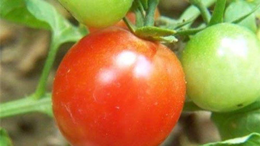 Mách chị em cách chọn cà chua chín tự nhiên, không giấm thuốc