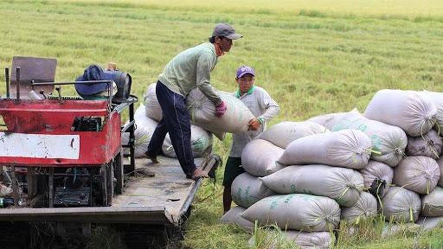Giá lúa gạo hôm nay ngày 16/1: Giá lúa gạo ở mức cao, thị trường giao dịch chậm