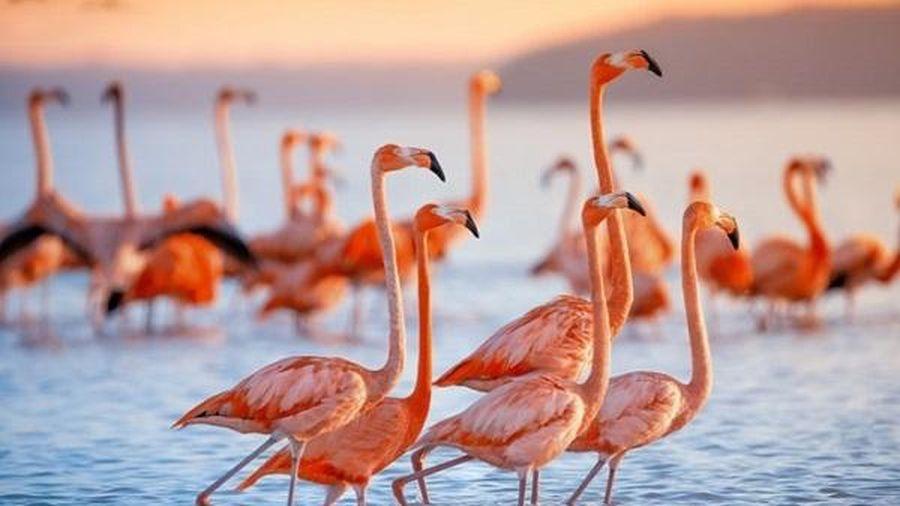 Có phải từ khi sinh ra, chim hồng hạc đã có bộ lông màu hồng đẹp mắt như vậy không?