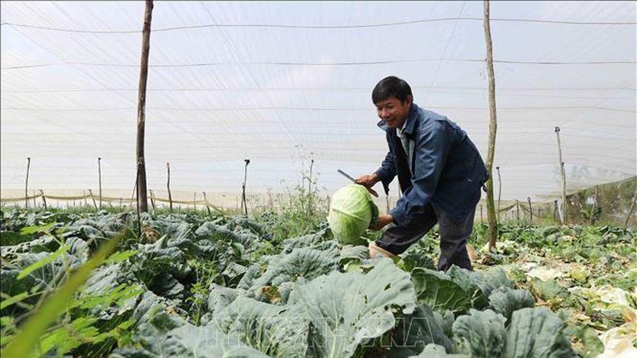 Lâm Đồng cung ứng gần 800.000 tấn rau cho thị trường Tết