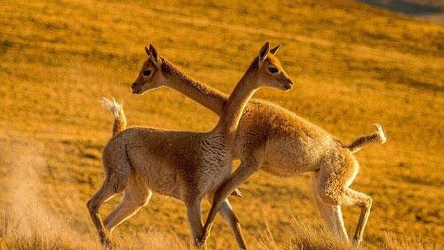 Đang tranh chấp khốc liệt, hai con lạc đà quay sang ôm nhau thắm thiết