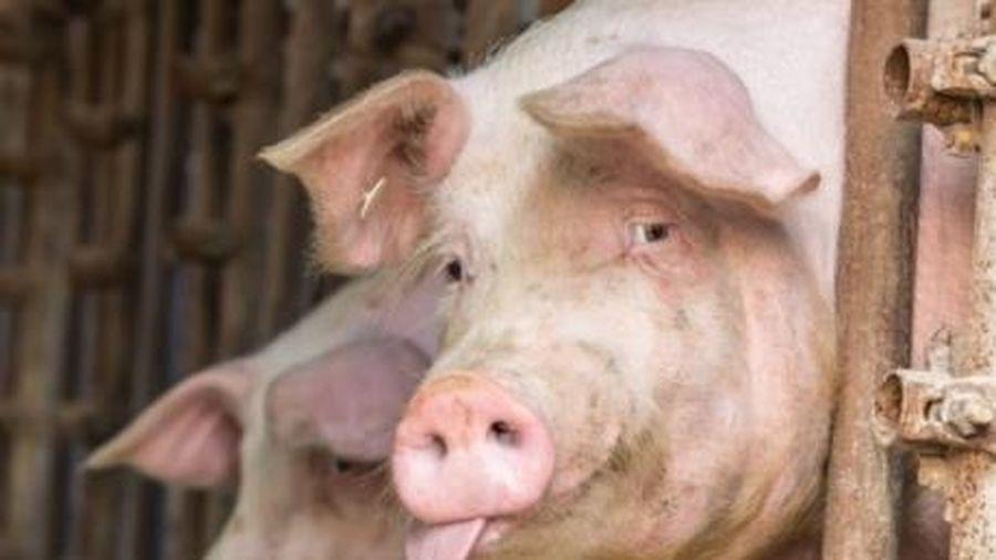 Giá lợn hơi hôm nay 18/1/2021: Mức tiêu thụ chậm nhưng giá lợn hơi vẫn tăng cao