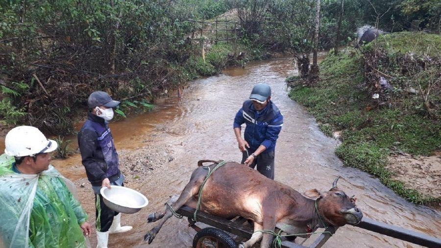 Hàng trăm con gia súc ở Nghệ An chết do giá rét