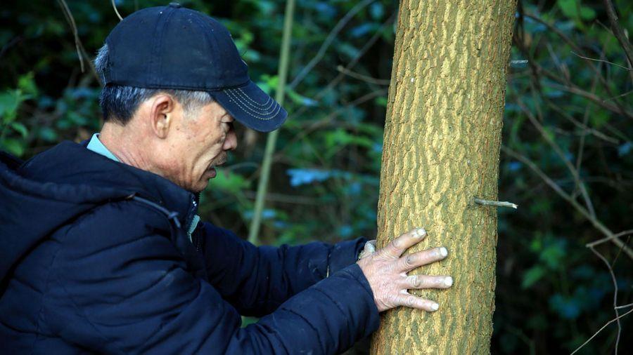 Người trồng rừng thay thế có thể trắng tay cầu cứu cơ quan chức năng Nghệ An