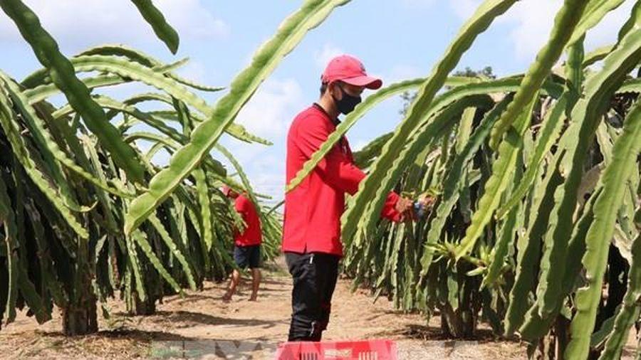 Long An mở rộng diện tích trồng thanh long hữu cơ