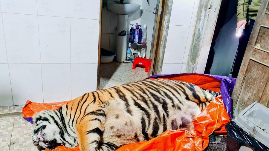 Hà Tĩnh phát hiện cá thể hổ nặng 250kg trong nhà dân