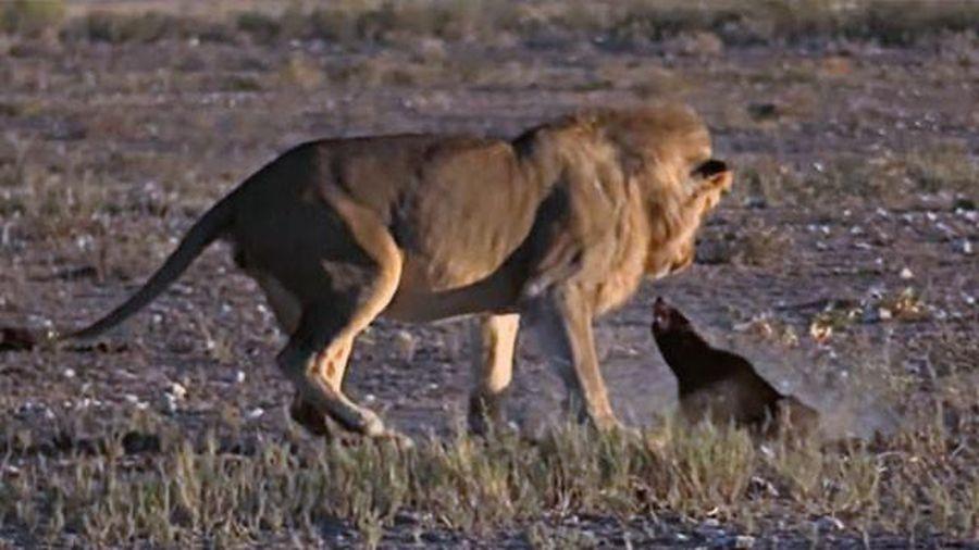'Kẻ bố đời' kiên cường chống trả khiến sư tử đực 'bất lực'