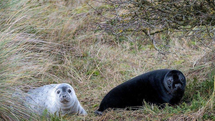 Đàn hải cẩu đen quý hiếm bất ngờ lộ diện ở khu bảo tồn Anh