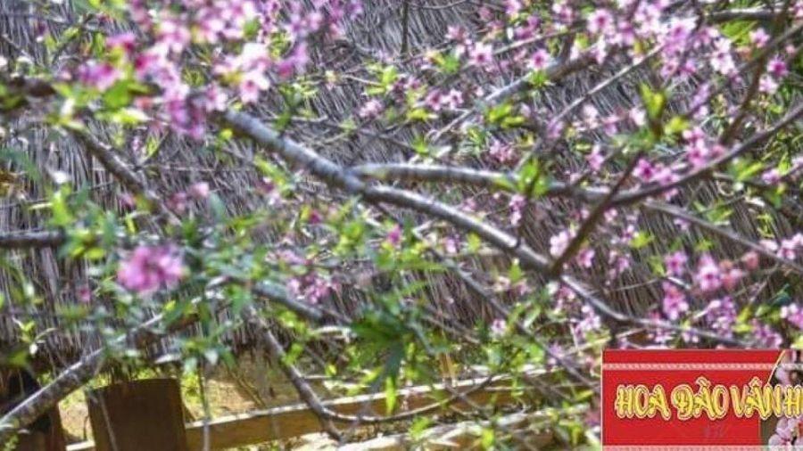 Sơn La phát hành hơn 10.000 tem dán cho cây đào trồng